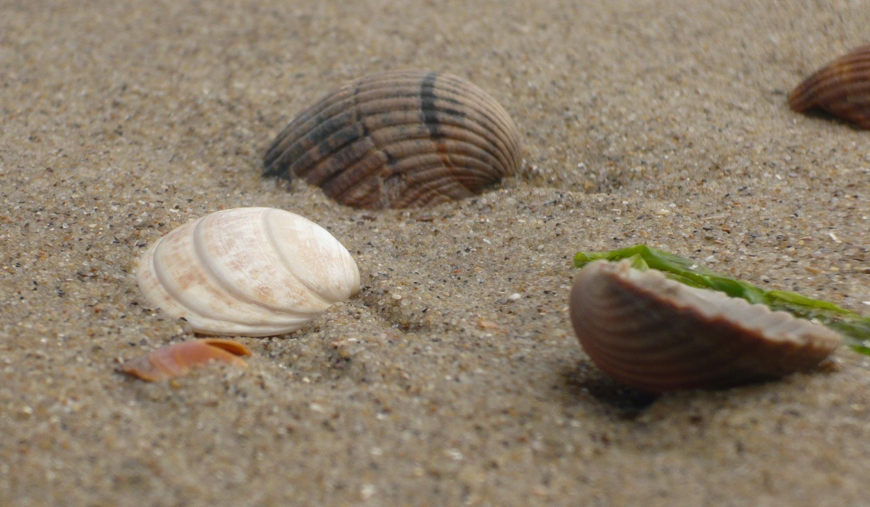 Logarithmische Spiralen bei Muscheln am Strand